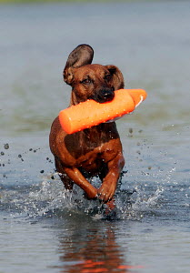Bavarian mountain scenthound running through water carrying plastic toy, Germany - ARCO