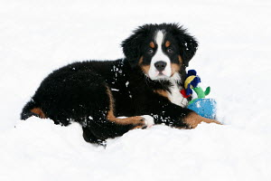 Bernese Mountain dog puppy in snow with toy - ARCO