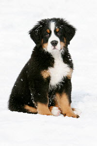 Bernese mountain dog puppy sitting in snow - ARCO