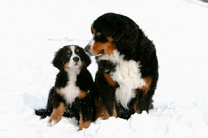 Bernese mountain dog with puppy in snow - ARCO