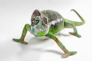 Warty chameleon (Furcifer / Chamaeleo verrucosus) walking, from Madagascar - ARCO