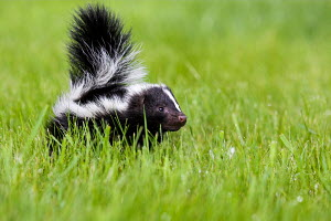 Young Striped skunk (Mephitis mephitis) , controlled conditions, USA - ARCO