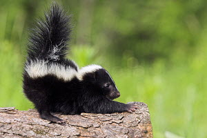 Juvenile Striped skunk (Mephitis mephitis) on tree stump stretching, controlled conditions, USA - ARCO