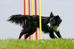 Border Collie weaving through agility / weaver poles, Germany - ARCO