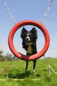 Border Collie jumping through tyre on agility course, Germany - ARCO