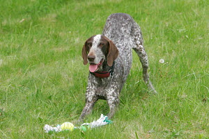 German Shorthaired Pointer with toy, Germany - ARCO
