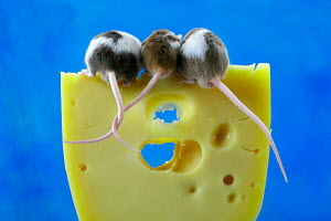 Rear view of three Domestic mice on piece of cheese, Germany - ARCO