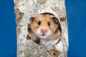 Golden hamster (Mesocricetus auratus) with head appearing from hole in log,  Germany - ARCO