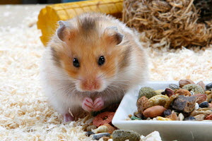 Golden hamster (Mesocricetus auratus) feeding on dried food from bowl, Germany - ARCO