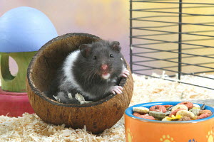 Golden hamster (Mesocricetus auratus) sitting in cage, in upturned coconut shell, next to food bowl, - ARCO