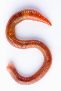 Common Earthworm (Lumbricus terrestris) in shape of an 'S' Germany - ARCO