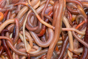 Collection of Common Earthworms ( Lumbricus terrestris) Germany - ARCO