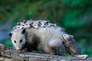 Female North American opossum (Didelphis marsupialis virginiana) carrying young on her back, Minnesota, USA, captive - ARCO / Wittek