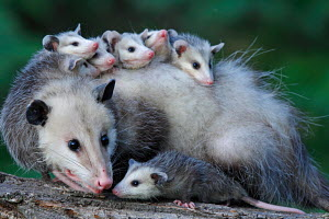 Female North American opossum (Didelphis marsupialis virginiana) carrying young on her back, Minnesota, USA, captive - ARCO