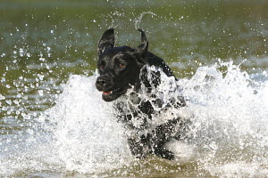 Black Labrador Retriever, running / splashing through water, Germany - ARCO