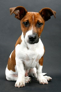 Portrait of Jack Russell Terrier puppy, aged 12 weeks, sitting, Germany - ARCO