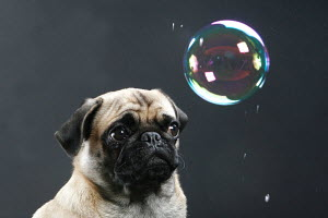 Head portrait of Pug, with soap bubble, Germany - ARCO