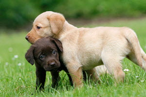 Two Labrador Retriever puppies, aged 8 weeks, yellow and brown, Germany - ARCO