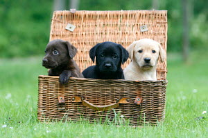 Three Labrador Retriever puppies, brown, black and yellow, aged 8 weeks, sitting in basket, Germany - ARCO