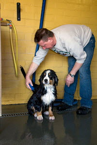 Bernese Mountain dog, puppy being blow-dried, Germany - ARCO