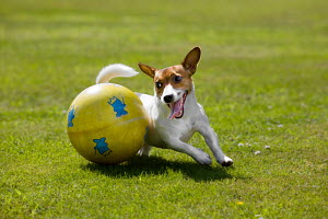 Jack Russell terrier playing with ball on lawn, Germany. NOT AVAILABLE FOR 2014 RETAIL CALENDARS. - ARCO