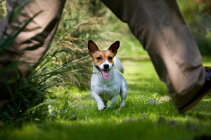 Jack Russell terrier, running on lawn, playing with owner, Germany - ARCO