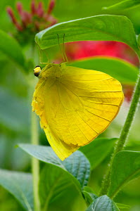 Giant sulphur butterfly (Phoebis) at rest on leaves, South America - ARCO