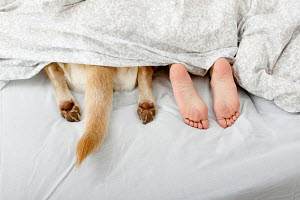 Woman with Labrador Retriever, lying asleep in bed, with only paws, tail, and her feet visible - ARCO