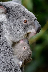 Head portrait of female Koala (Phascolartos cinereus) carrying young on her chest, Queensland, Australia - ARCO