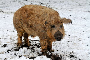 Mangalitza / Curly haired hog, foraging in snow - ARCO