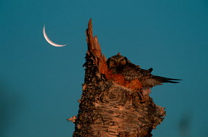 Hawk owl (Surnia ulula) at nest, with cresent moon - ARCO
