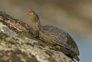 Profile view of Spanish terrapin (Mauremys leprosa) on rock, Extremadura, Spain - ARCO
