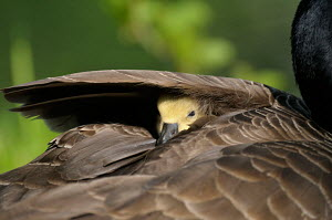 Canada gosling (Branta canadensis) keeping warm and resting under parnet's wing, Germany - ARCO
