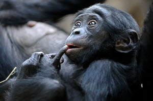 Head portrait of a young Bonobo (Pan paniscus) with finger on lips, captive - ARCO