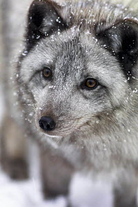 Head portrait of Arctic fox (Vulpes / Alopex lagopus) in grey colour phase, covered in snow flakes - ARCO