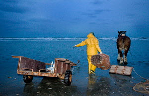 Fisherman with Draught Horse fishing for shrimps, Oostduinkerke, Belgium / Draft Horse - ARCO