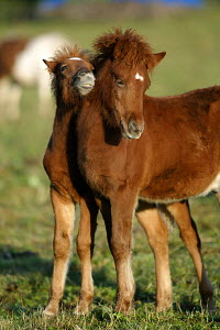 Two Icelandic foals, standing together - ARCO