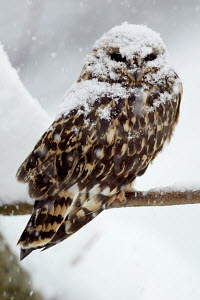 Short-eared owl  (Asio flammeus) perched on branch, covered in snow flakes - ARCO