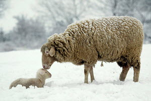 Merino Sheep tending to her lamb, in snow covered field - ARCO