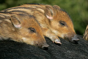 Two Wild Boars piglets (Sus scrofa) sleeping on the back of their mother - ARCO