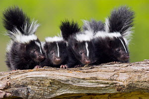 Four young Striped skunks (Mephitis mephitis) on a log, North America, captive - ARCO
