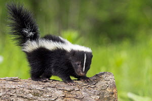 Young Striped skunk (Mephitis mephitis) standing on a log, North America, captive - ARCO