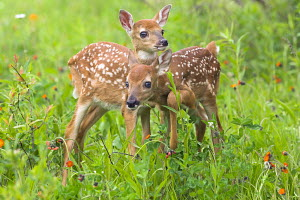 Two White-tailed deer fawns (Odocoileus virginianus) standing in wildlflower meadow, North America - ARCO