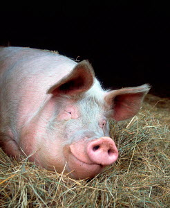 Domestic Pig (Sus scrofa domestica) in stable, Europe - ARCO