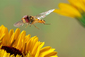 Marmalade Hover Fly (Episyrphus balteatus) in flight to sunflower, from Europe - ARCO