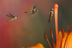 Marmalade Hover Fly (Episyrphus balteatus) flying to flower, Europe - ARCO