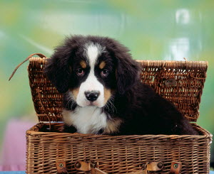 Domestic dog, Bernese Mountain Dog, puppy in basket - ARCO