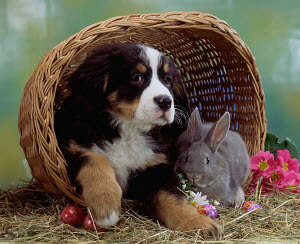 Domestic dog, Bernese Mountain Dog puppy in basket with Domestic Rabbit - ARCO