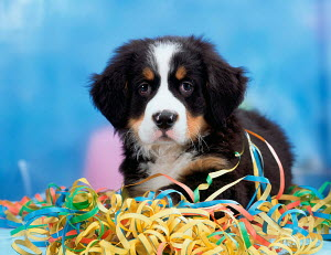 Domestic dog, Bernese Mountain Dog, puppy with paper streamers - ARCO