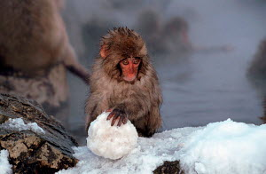 Young Japanese Macaque (Macaca fuscata) playing with snowball, Hell's Canyon, Japan - ARCO